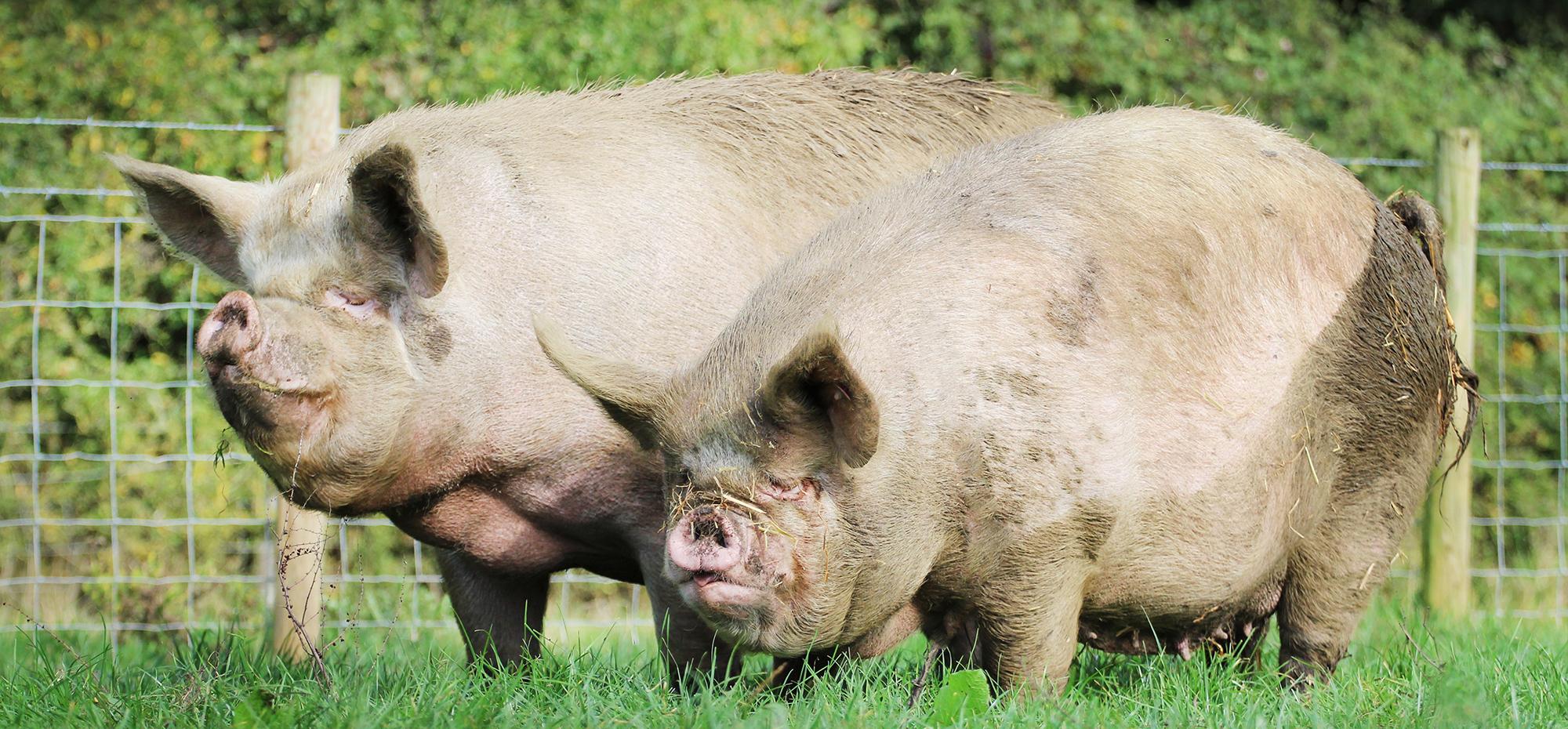 Pig PP-09-17-119
