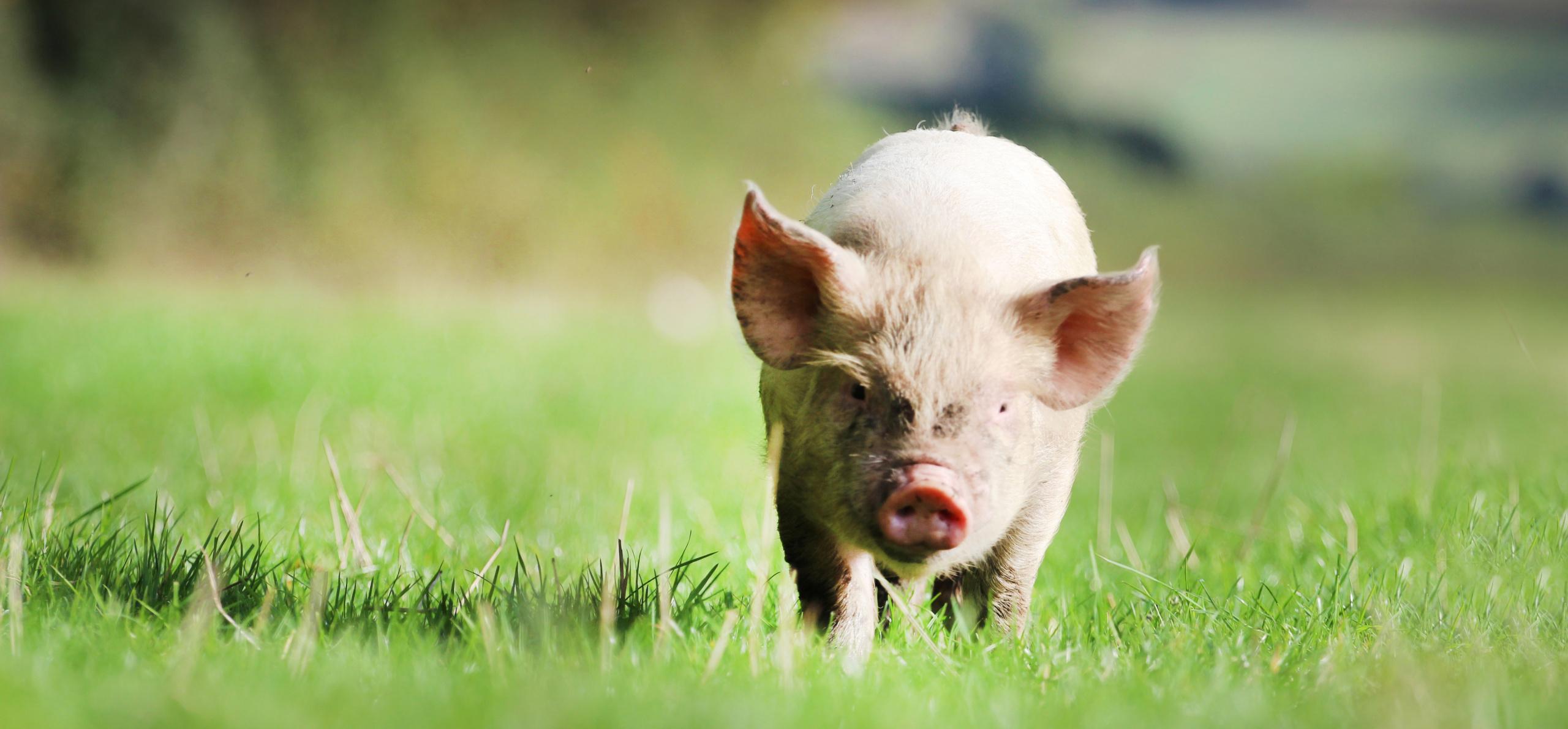 Pig PP-09-17-138